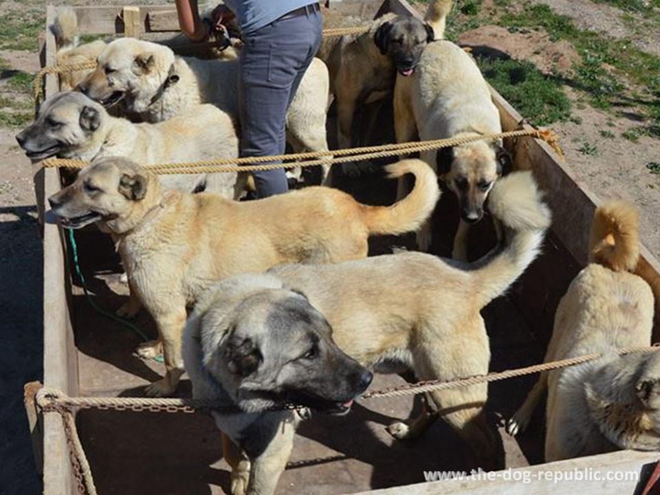 Kangal - magnificent shepherd dog from Anatolia : THE DOG